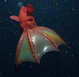 Vampyroteuthis Infernalis